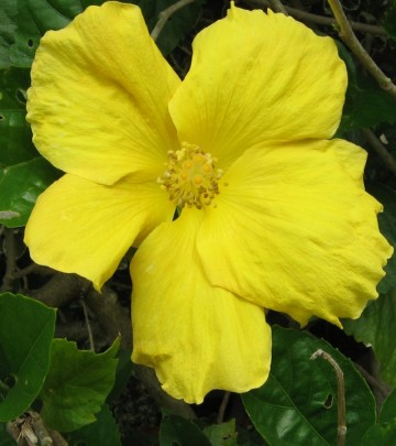 hibiscus_tropical_yellow